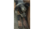 Picture of Male Blue Heeler Puppy 3093376060