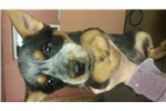 Picture of Female Blue Heeler Puppy 3093376060