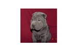 Picture of a Chinese Shar-Pei Puppy