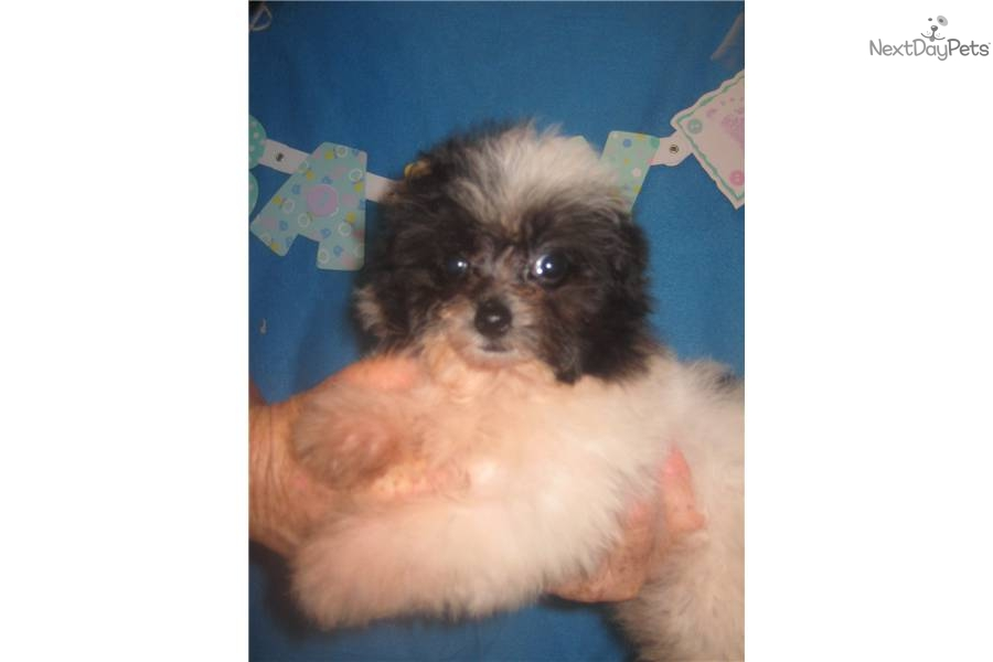 Meet Petunia a cute Pomeranian puppy for sale for $600 ...