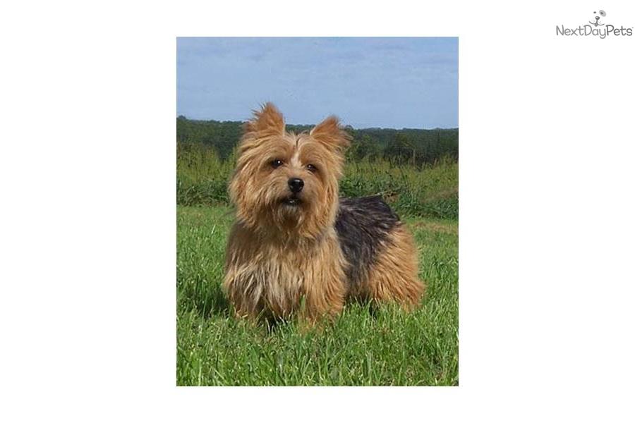 Akc Norwich Terrier Br...