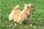 Picture of AKC adult Norwich terrier