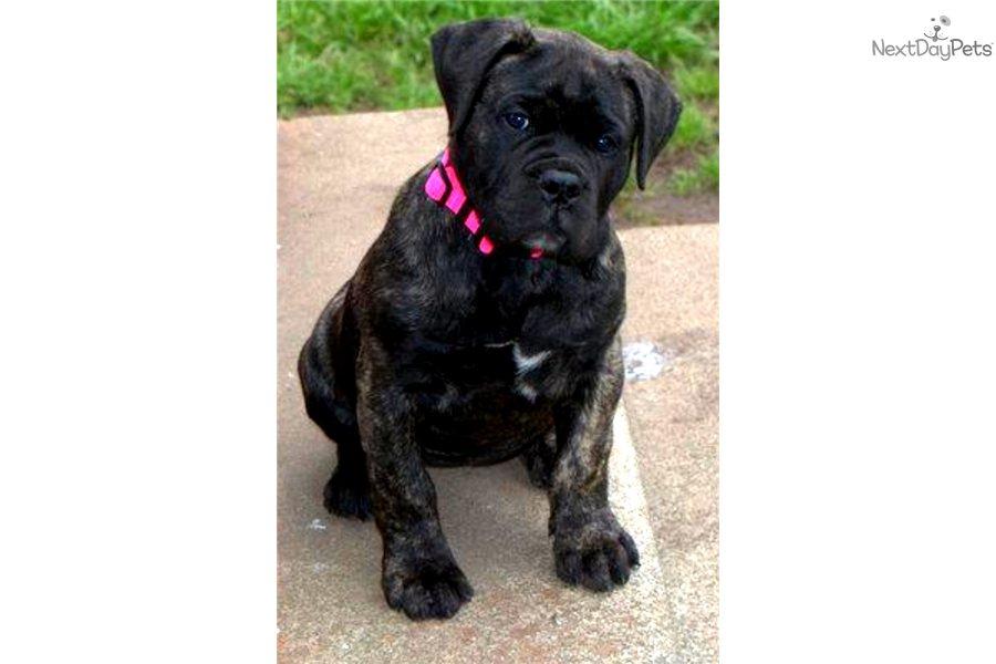 Pin Black-bullmastiff-puppy on Pinterest