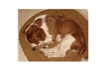 Picture of a Welsh Springer Spaniel Puppy