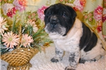 Picture of APPLE - A WORK OF ART IN A FLOWERED SHAR-PEI