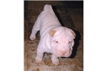 Picture of SNOWBALL - PURE AS THE DRIVEN SNOW - BRUSHCOAT BOY