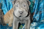 Picture of LOOKING FOR A TRUE BLUE? MEET .....BLUE STEELE