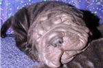 Picture of MINI BLACK VELVET BEAUTIFUL BLACK BRUSHCOAT GIRL!