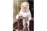 Picture of Beaux-Art  Chinese Shar Pei