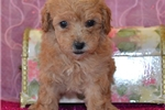 Picture of AKC Ginger