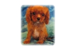 Picture of a Cavalier King Charles Spaniel Puppy