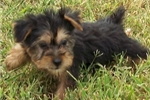 Silky Terrier for sale
