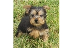 Picture of AKC Tracey