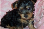 Picture of AKC Roxy