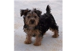 Affenpinscher for sale
