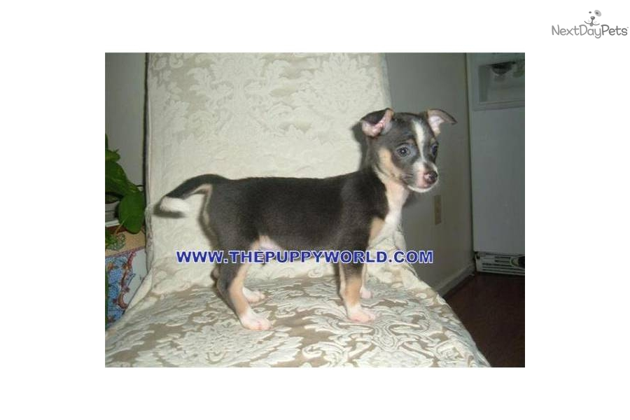 SHORT/LONG HAIRED CHIHUAHUA PUPPIES AVAILABLE.