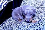 Picture of a Doodleman Pinscher Puppy