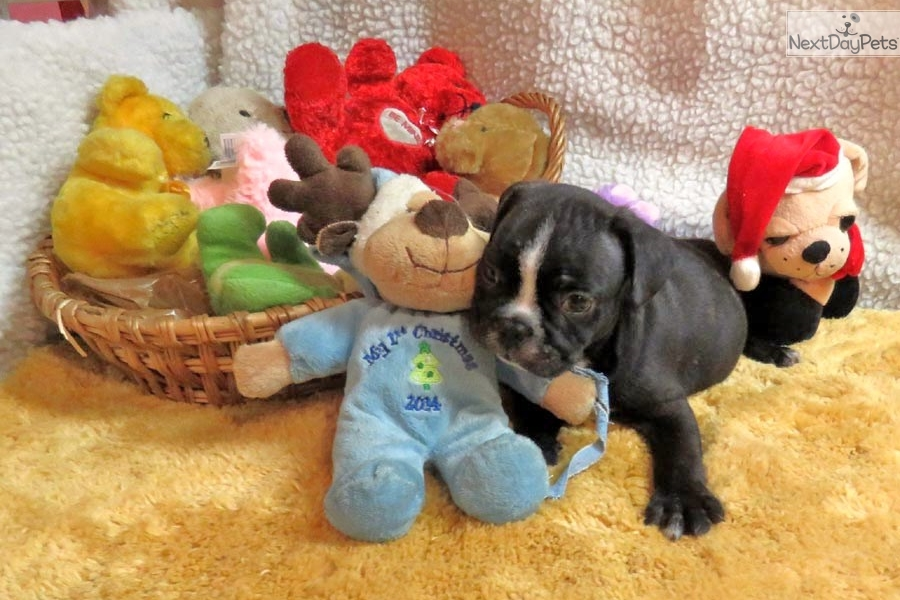 Frenchton Puppy For Sale In Ohio | Dog Breeds Picture
