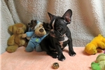Picture of Frenchton- Archie