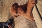 Picture of Family raised vizsla puppies