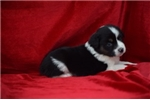 Picture of TRENT AKC