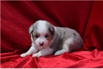 Picture of TESS AKC