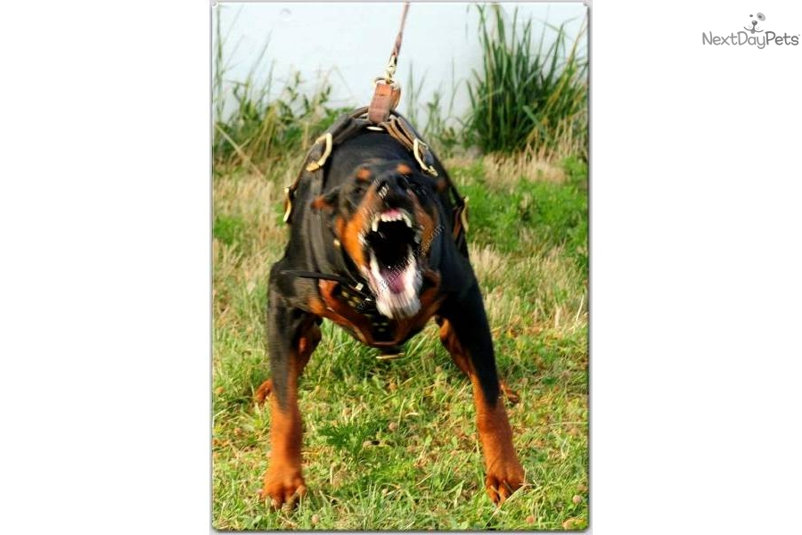 Black Dog Rescue Bc