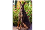 Fiery Red Young Doberman | Puppy at 51 weeks of age for sale