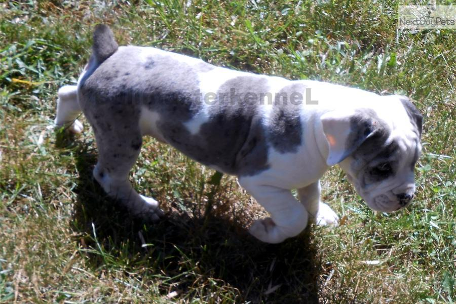 blue merle olde english bulldog puppies for sale