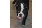 Picture of Blk/white olde English bulldogge NEW VIDEO