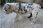 Picture of Blue merle olde english bulldogge female for sale