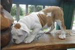 Picture of Fawn merle female olde English bulldog - new video
