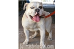 Picture of Fawn tri merle  olde English bulldog NEW VIDEO