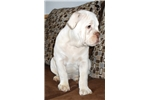 Picture of chocolate/white olde english bulldogge - new video
