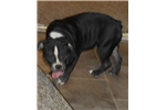 Picture of Blk & white olde English bulldogge NEW VIDEO