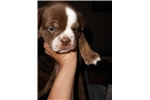 Picture of chocolate tri & femal olde english bulldog - since