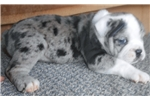 Picture of blue merle female  olde English bulldog