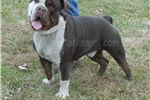 Picture of chocolate tri & white olde english bulldog - since