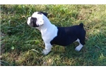 Picture of Moxey Black and white female olde puppy