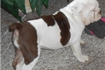 Picture of chocolate & white olde english bulldogge new video