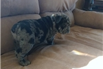 Picture of blue Merle male olde English bulldogge