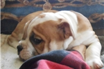 Picture of  olde English bulldog See NEW VIDEO - since 1980!