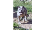 Picture of SINCE 1980! Blue Merle olde English Bulldogge