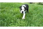 Picture of Black and white male olde English bulldogge