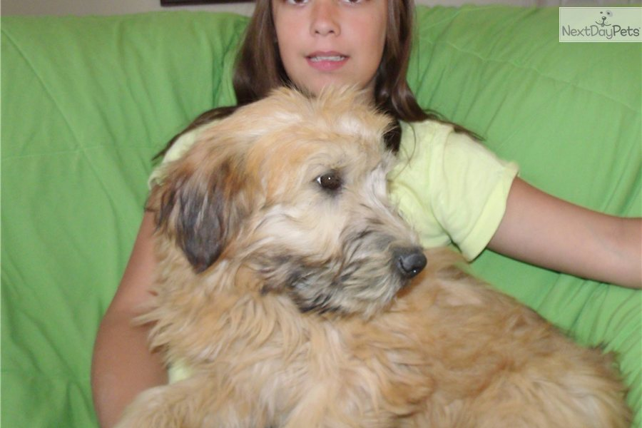 Soft Coated Wheaten Terrier Los Angeles Dog Breeds Picture