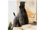 Picture of a Kerry Blue Terrier Puppy