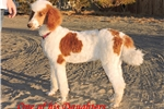 Picture of Full AKC Red Breeding Male