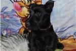Scottish Terrier for