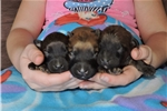 Picture of Litter of Standard Whoodle Pups! Wheaten Colored!