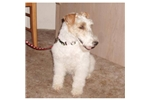 Picture of a Wire Fox Terrier Puppy